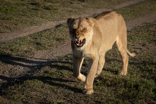 lioness bares teeth while walking past