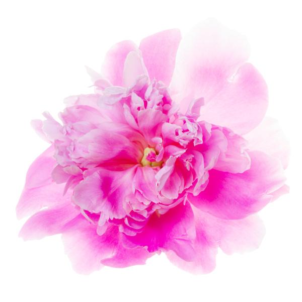 backlight shot of a magenta rose