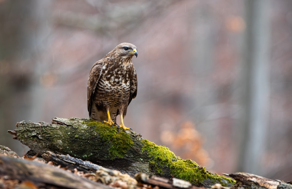 curious common buzzard sitting on a