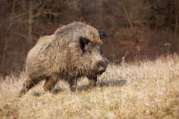 majestic wild boar walking on a