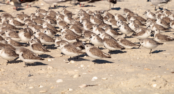 cluster of black bellied plovers pluvialis