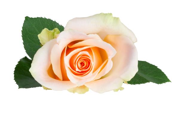 beautiful white and orange rose rosaceae