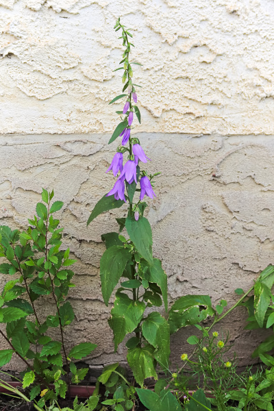 a single stock of creeping bellflower