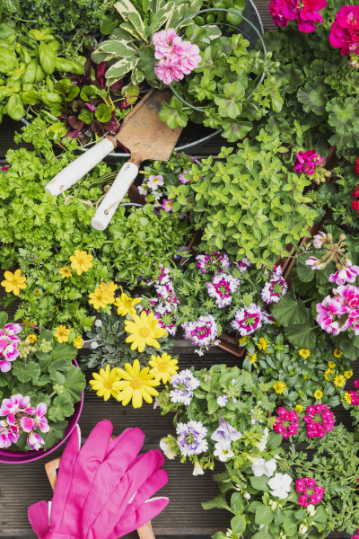 colorful freshly potted summer flowers and