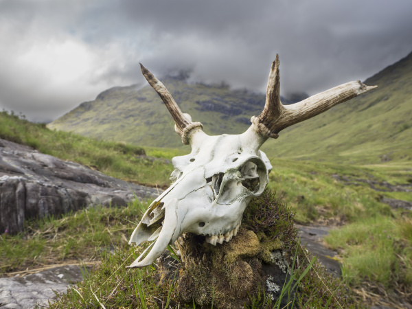 close up of deer skull on
