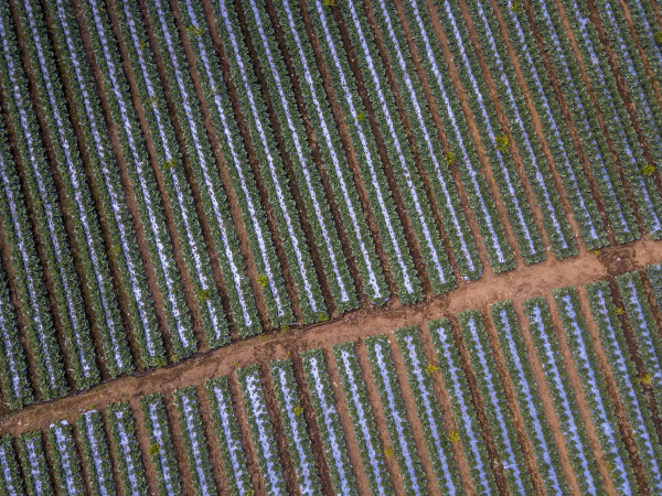aerial view of cabbages growing in
