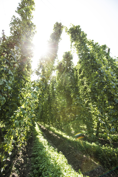 low angle view of hops crop