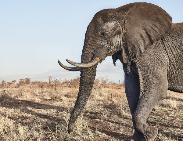 african elephant with big tusks in