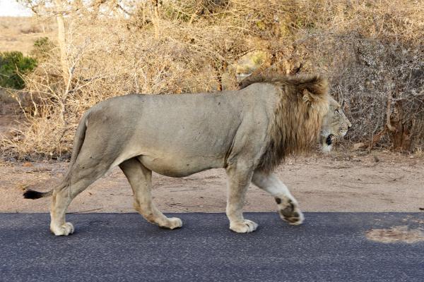male lion walking on a road