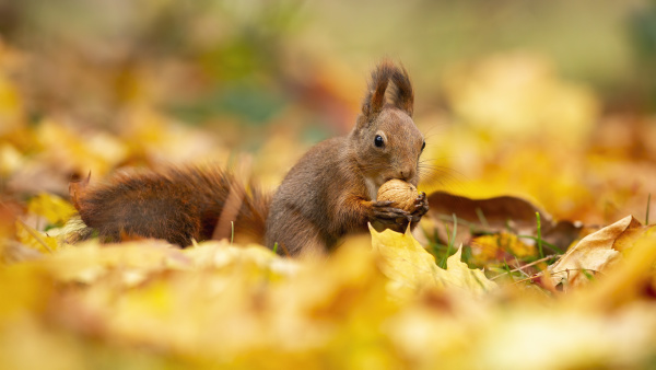 watchful red squirrel feeding himself with