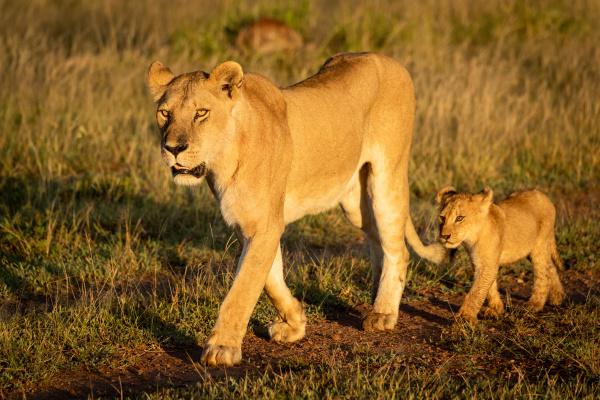lioness walks down track followed by