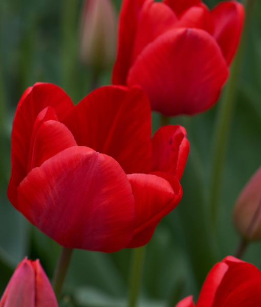 field of red blossoming tulips on
