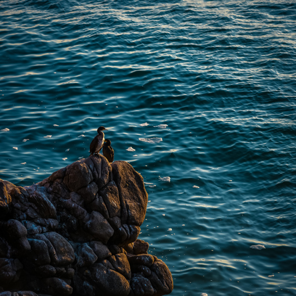 cormorants sit on the rocks resting