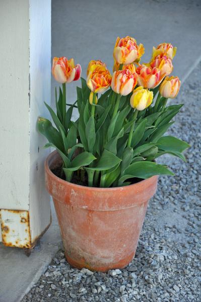 orange tulips in clay flowerpot