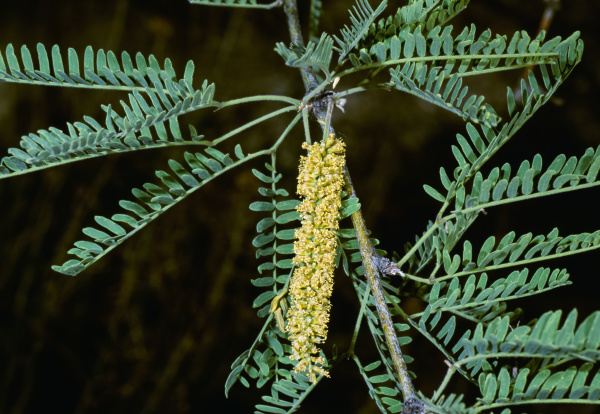 agriculture weeds velvet