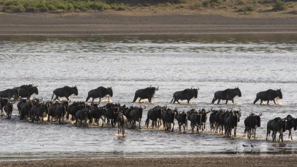 migrating wildebeests connochaetes taurinus crossing lake