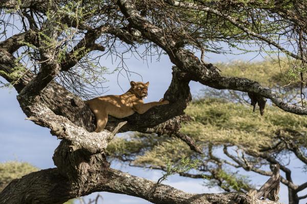 lioness panthera leo on tree ndutu