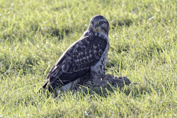 common buzzard in a meadow