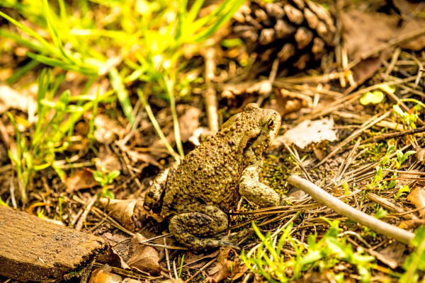 common toad in poland