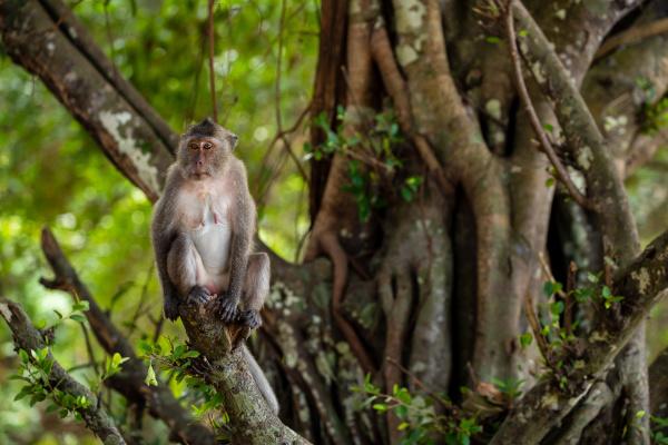 macaque of con dao in vietnam