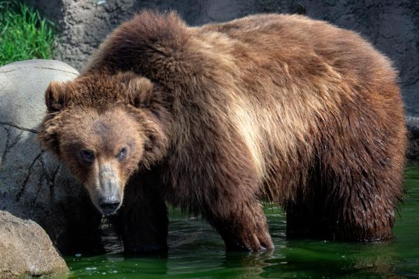 kamchatka bear in water ursus arctos