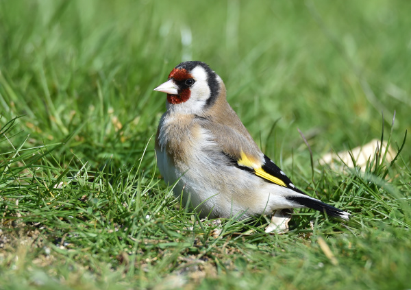 goldfinch on the meadow