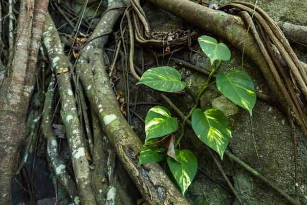 the jungle of con dao in