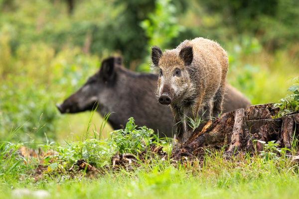 harmonious wild boar piglet and adult