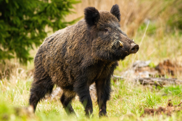 dominant wild boar male sniffing with