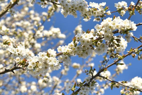 kirschblueten mit einem blauen himmel