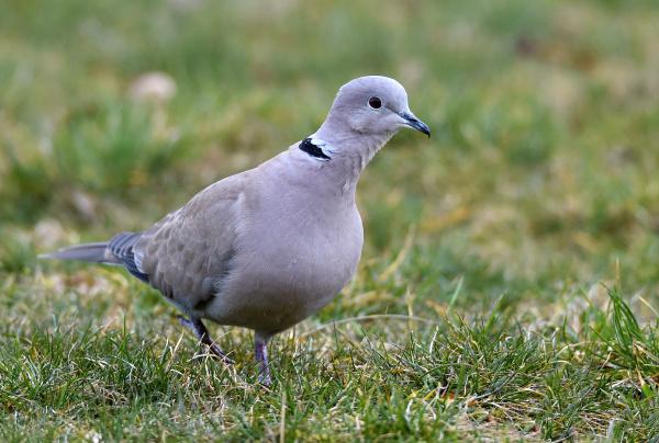 turkish dove