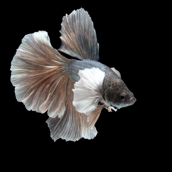 siamese fighting fish on black background