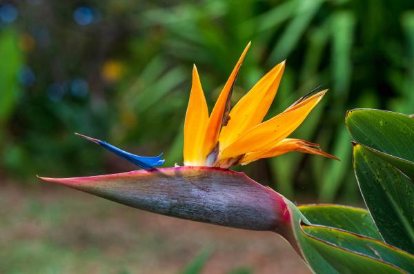 tropical flower strelitzia or bird of