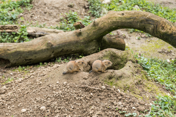 prairie, dog, hatchlings, in, front, of - 28215381