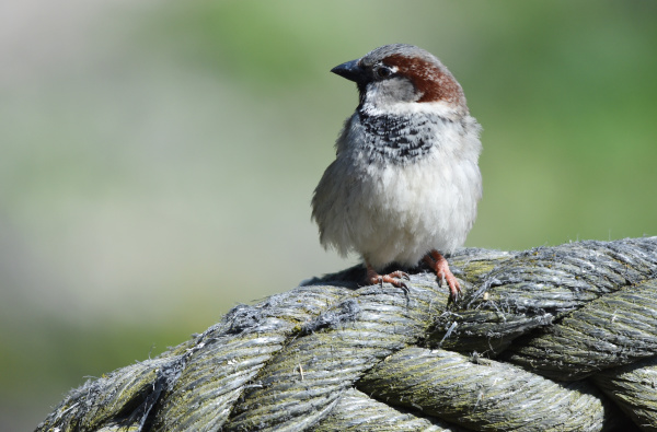 sparrow, on, a, rope - 28215258