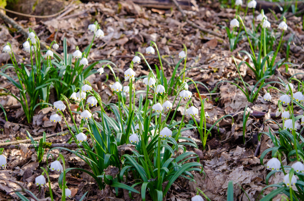 spring, knot, flower, in, the, forest - 28215541