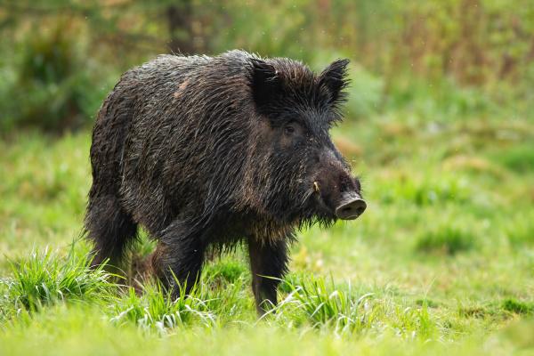 dangerous wild boar male with white
