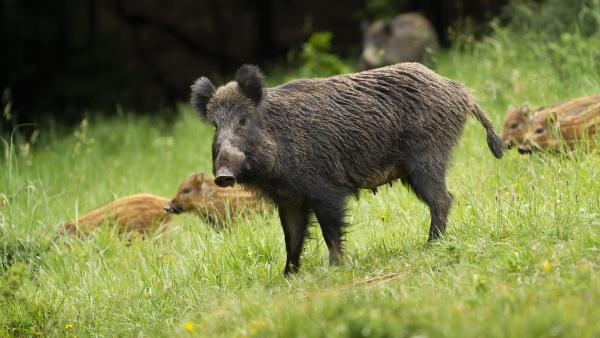 dangerous female wild boar protecting her