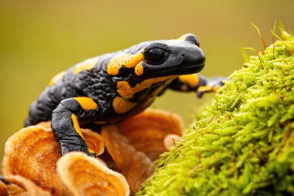 endemic, species, of, european, fire, salamander - 28216995