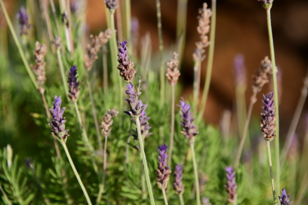 purple, lavender, flower, in, the, province - 28216910