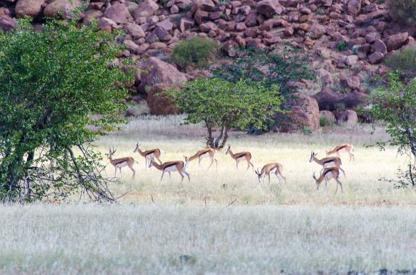 herd of springboks in namibia
