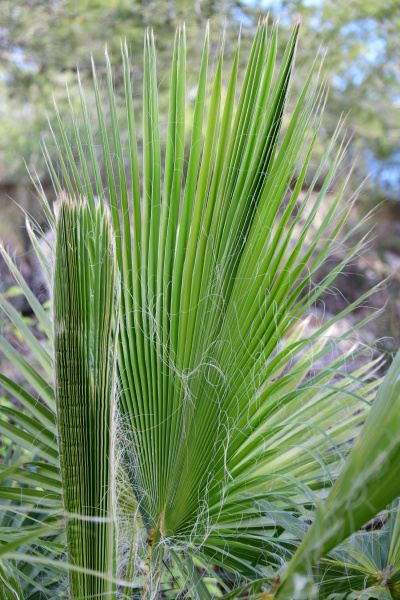 palm leaves in the province of