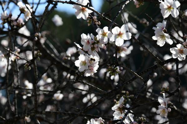 blossoms, on, almond, tree, , alicante, province, - 28217967