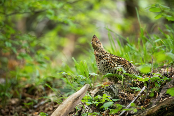 curious hazel grouse watching attentively in