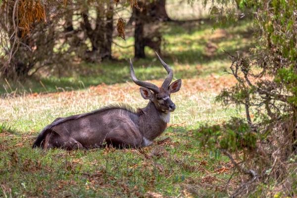 endemic mountain nyala in ale mountains