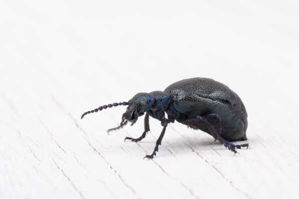 poisonous violet oil beetle isolated on