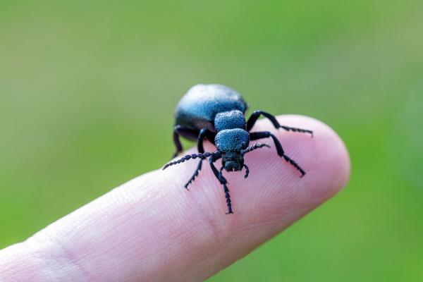 poisonous violet oil beetle on human
