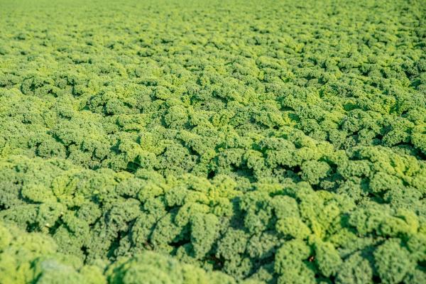 curly, kale, grown, on, a, farm - 28237912