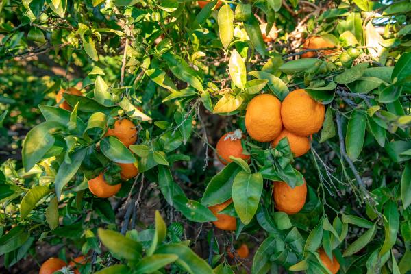 many, ripe, tangerines, on, the, tree - 28237875