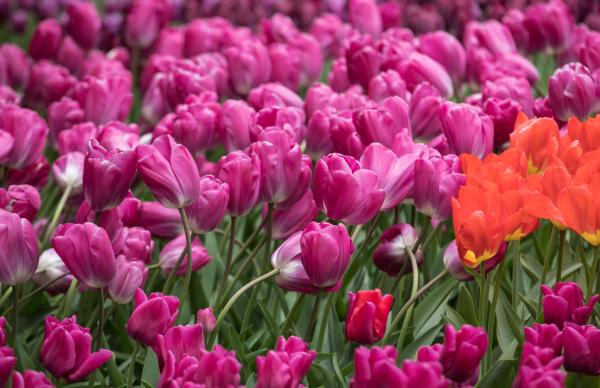 purple, tulips, flowers, blooming, in, a - 28237837